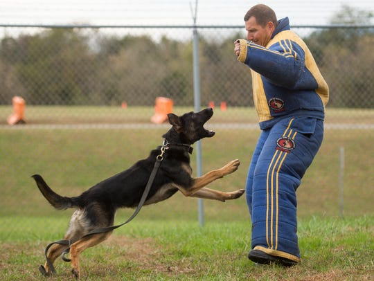 Regalo, a German Shepherd, is released and pounces