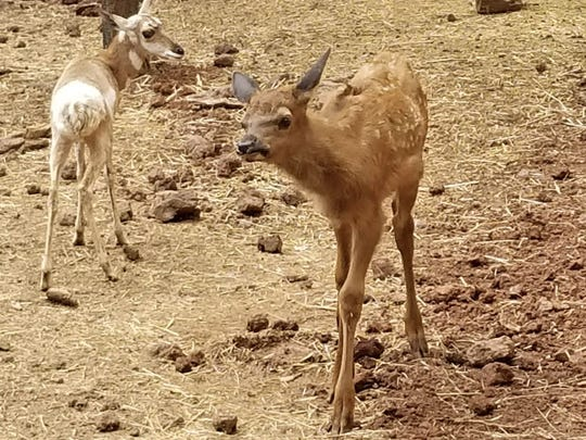 Lucky the elk (foreground), now a month old, wanders her new habitat at Bearizona with Jessie, a young antelope.