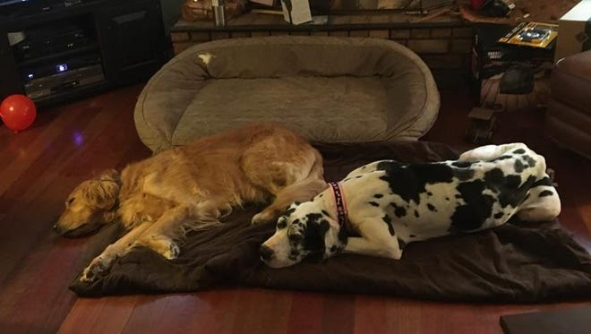 "Gwenn, a Great Dane who was rescued from a home in Biglerville, was adopted and has adapted well to her new home with her ""siblings."""