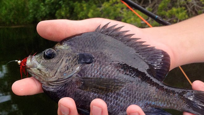 Panfish are the perfect species to target for beginner fly fishers.