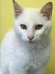 White Kitty is a 4.5-month-old, spayed female domestic short hair. She is fully vetted and house trained. White Kitty Heidi is very lovable but may need time to adjust to another cat. She is super sweet and loves people. Find her through the Humane Society of Dover-Stewart County, 931-232-8165, www.petfinder.com/shelters/TN113.html.
