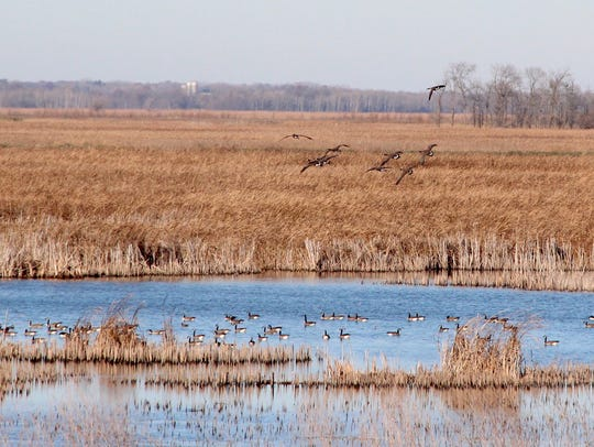A flock of Canada geese prepares to land at Horicon Marsh State Wildlife Area in Horicon.