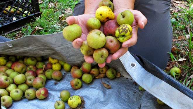 In this Oct. 3, 2017 photo, David Dolginow, co-founder of Shacksbury Cider, picks up wild apples in Rochester, Vt. As the craft cider industry continues its resurgence with not enough commercial cider apples available, some cider makers are foraging for wild apples that have links to the country's early cider making history.