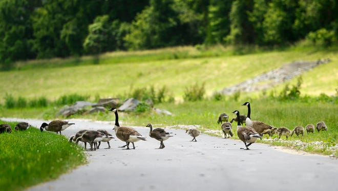 Several families of geese have taken up residence on the York County Heritage Rail Trail Northern Extension in Springettsbury Township. Manager of natural resources for York County Parks Mike Fobes says as the baby geese get bigger the birds should leave the area, as long as people aren't feeding them.