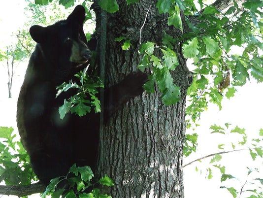 636029694591005071-bear-1.jpg