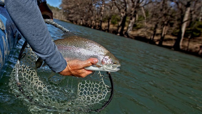 The Guadalupe River Trout Unlimited group released 12,000 pounds of rainbows into the river this season, with another stocking of brown trout still to come.