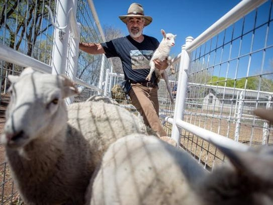 Donald Chavez of Belen, holds a newborn lamb at the