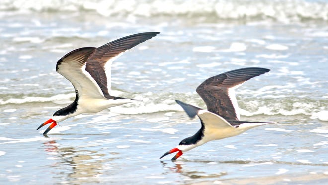 Black skimmers on Padre Island National Seashore.