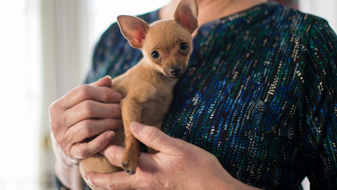 Eileen Boyle holds Selena, a 3-month-old chihuahua she is fostering Wednesday, Jan. 10, 2018 inside her home in Collingswood, N.J.