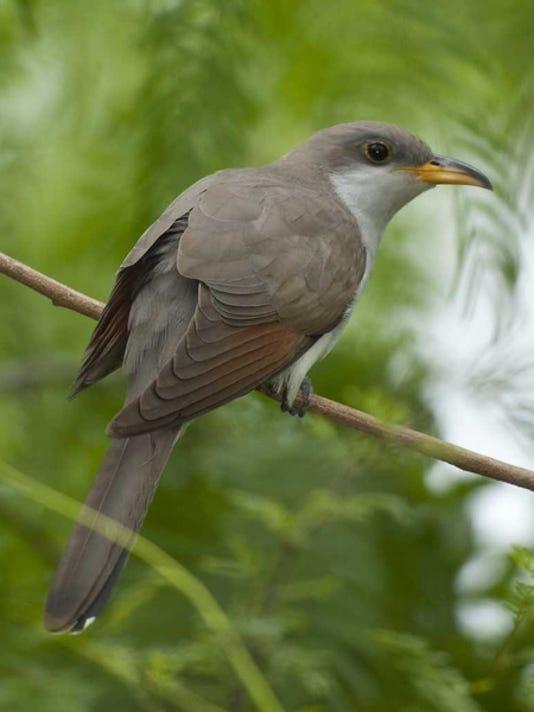 wsd  Yellow-billed Cuckoo