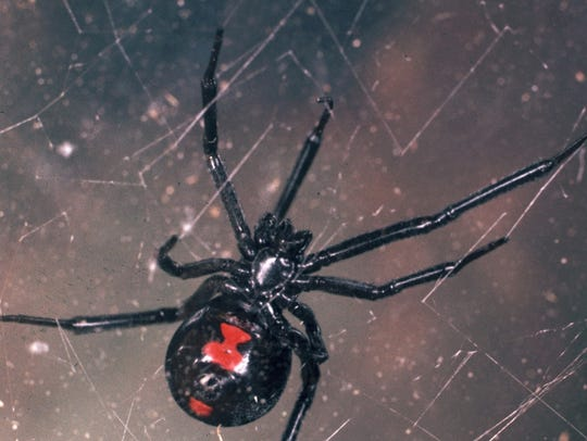 The venom of a black widow spider (Latrodectus mactans)