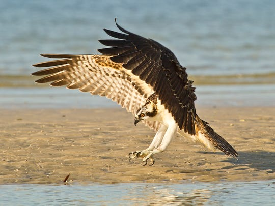 Osprey will fly right above the water with rear talons