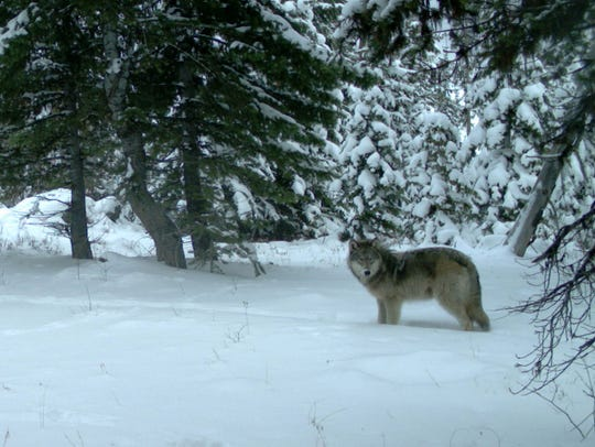 Remote camera pictures of the Minam wolf pack in Eagle