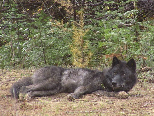 OR16, a member of the Walla Walla pack, after being