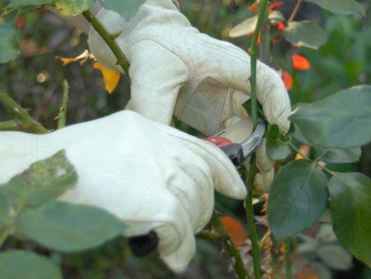 636332114319585593-pruning-rosesjpg.jpg