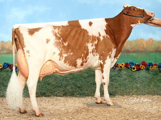 Winning the Red and White Cattle Association Junior Cow of the Year in the Junior Division is Redtag Destry Sneezy-Red.