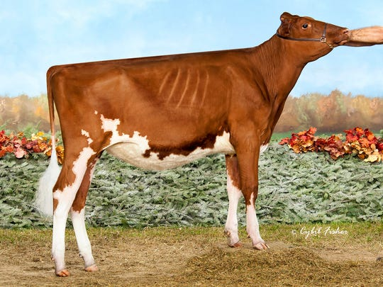 Sweeping both the Heifer of the Year and Junior Heifer of the Yearfor the Red and White Dairy Cattle Association was  MS-AOL DB Raspberry-Red-ET.