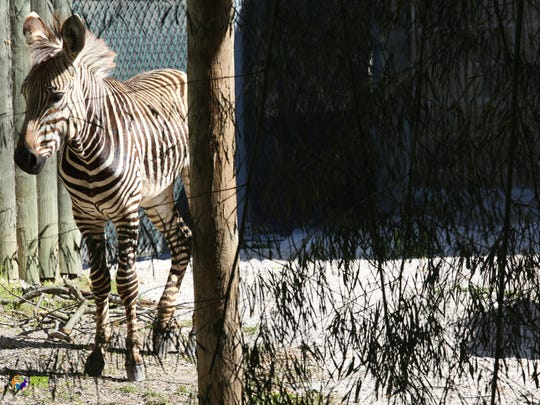 One of three Hartmann's mountain zebras who arrived at Zoo Knoxville on Friday.