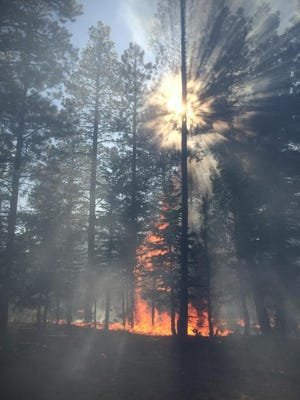 A single tree burns on the Locust Fire in northern Arizona, where firefighters have been managing the blaze as it burns in the Kaibab National Forest
