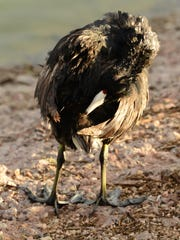 Bird calls from the highly vocal American Coot are