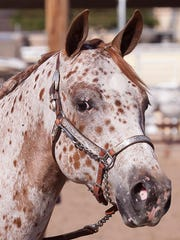 The Pony of the Americas is a cross-breed of Appaloosa,