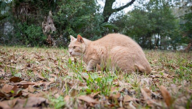 A stray cat roams the yard around Matt & Lauren Jarrett's house in Milton on Thursday, February 1, 2018.