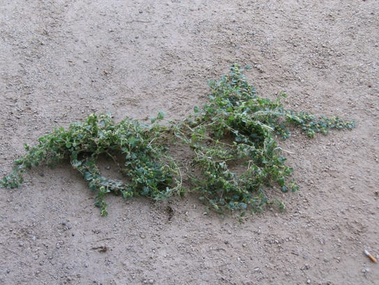 Khaki weed can grow quite large and has enough seeds