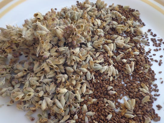 Seed collected in summer from Salvia alpina may be