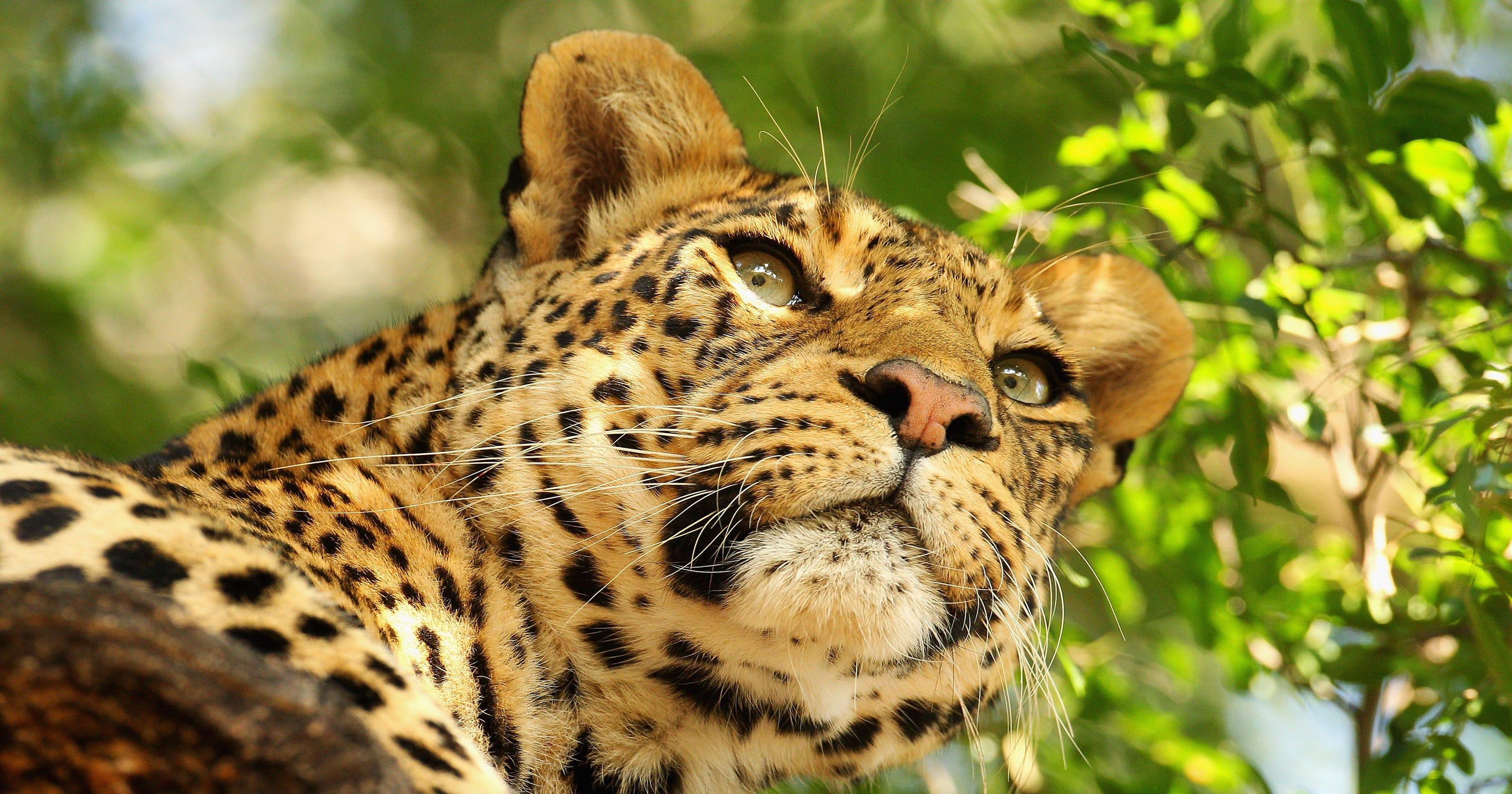 Leopard grabs, kills toddler in Uganda national park