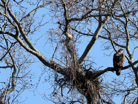 A pair of nesting Bald Eagles are shown next to a nest