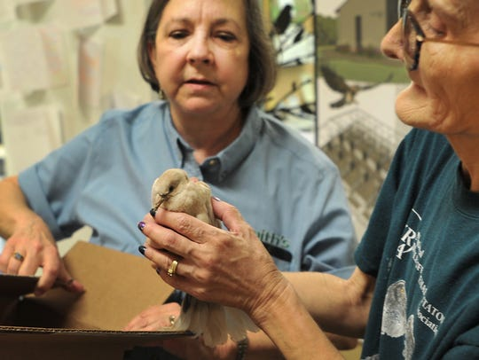 in this file photo, Wild Bird Rescue member of the board of directors, Katherine Smith, left, and director of rehabilitation, Ginger McConnell inspect a juvenile Eurasian Collared Dove after it was rescued. The nonprofit will celebrate an expansion on Nov. 15.