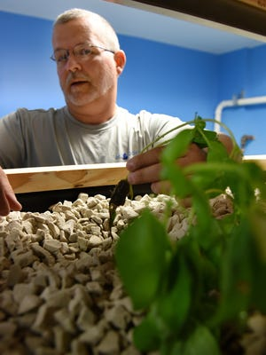 Bear Hall puts a basil plant back into the special growing medium at his MiAbilities shop in Milford on Oct. 20. Various plants with be grown indoors there sharing water and nutrients with a fish farm in the same room.