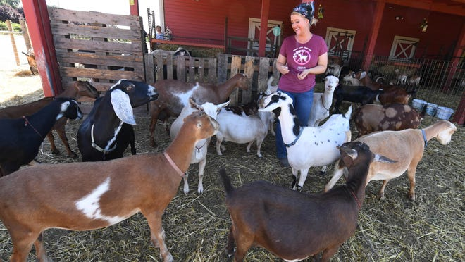 Kaite Spenker takes care of some of the goats used to supply the creamery at Spenker Family Farm Winery and Vineyards, where the kids can see the goats and Bettyann and Kate Spenker's homemade cheese is available for sale.