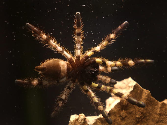 A baby Indian Ornamental tarantula at the Cincinnati Zoo and Botanical Gardens on Tuesday, April 29, 2014.