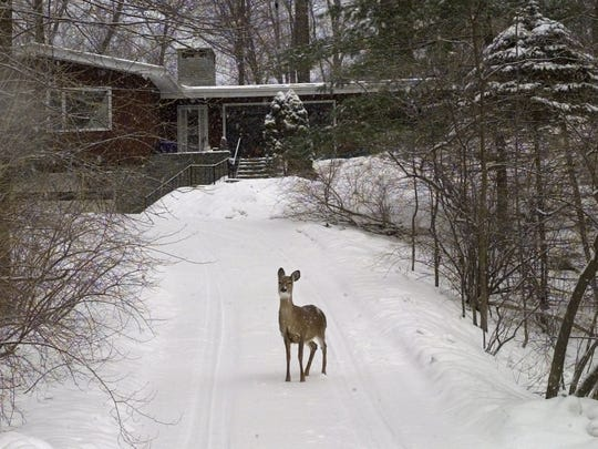 A deer in the Irondequoit before bait and shoot.