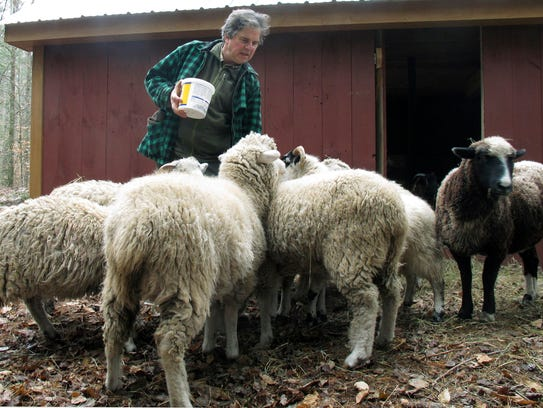 In this Dec. 1, 2015 photo, John Churchman feeds sheep