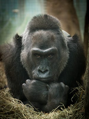 Colo died in her sleep at the Columbus Zoo. She was 60.