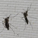 Aedes aegypti mosquitoes that were genetically modified to produce offspring that don't live are trapped inside a container before being released into the wild in Piracicaba, Brazil, as part of an effort to kill the local Aedes population, a vector for the Zika virus.