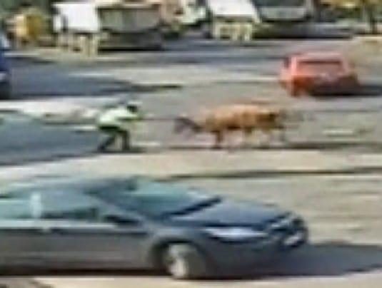 bull tackles officer