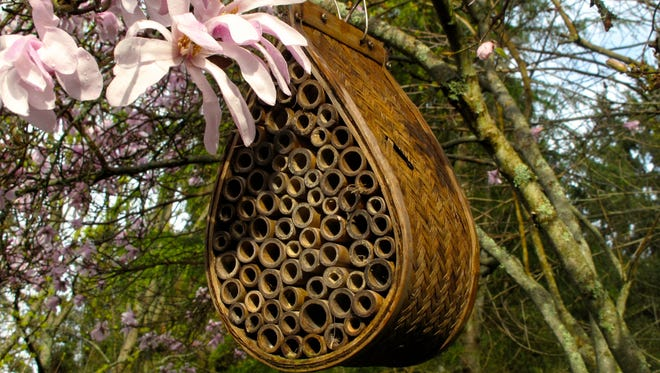 Mason bee tunnels for nesting use bamboo bundles like this commercial variety hanging in a magnolia tree near Langley, Wash. To create an inviting habitat for leaf cutter and mason bees, add nesting sites to your yard to maximize the production of native bees.