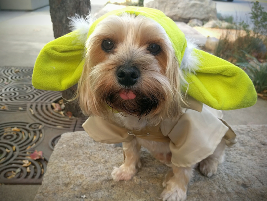 A Google employee's dog dressed as Yoda.