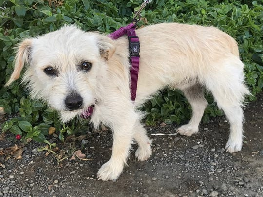 Archie is a 9-month-old to 1-year-old, 10 pound, soft wire coated, male terrier blend. He's shy and would do best in a very quiet home. He gets along with easy-going dogs. He came from the Clear Lake fire area. No children. Adoption fee is $163, which includes neuter, microchip, shots, kennel cough vaccination and rabies. Visit Tails of Rescue Adoption Center, 981 Lake Blvd., Redding. Call 448-7444. Go to http://tailsofrescue.org.