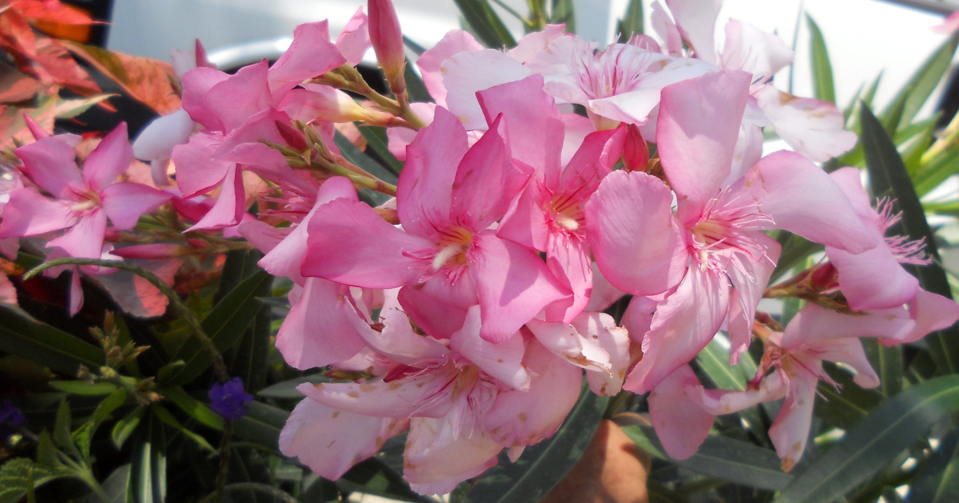 Oleanders Make For Spring Summer And Fall Show Of Color