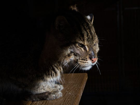 A Fishing Cat basks in the sun at the Binghamton Zoo on Monday, Jan. 30.