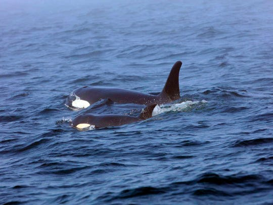 In this Aug. 7, 2018, file photo, Southern Resident killer whale J50 and her mother, J16, swim off the west coast of Vancouver Island near Port Renfrew, B.C. J50 died in 2018 despite medical efforts to help save her.