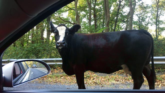 In this photo provided by the New Jersey State Police Sgt. 1st Class Jeff Flynn passes a cow on his way to headquarters Thursday, Oct. 5, 2017, in Stockton. Flynn said the cow's farmer arrived and, with the help of another trooper, they managed to get the cow back to its farm on the other side of the highway.
