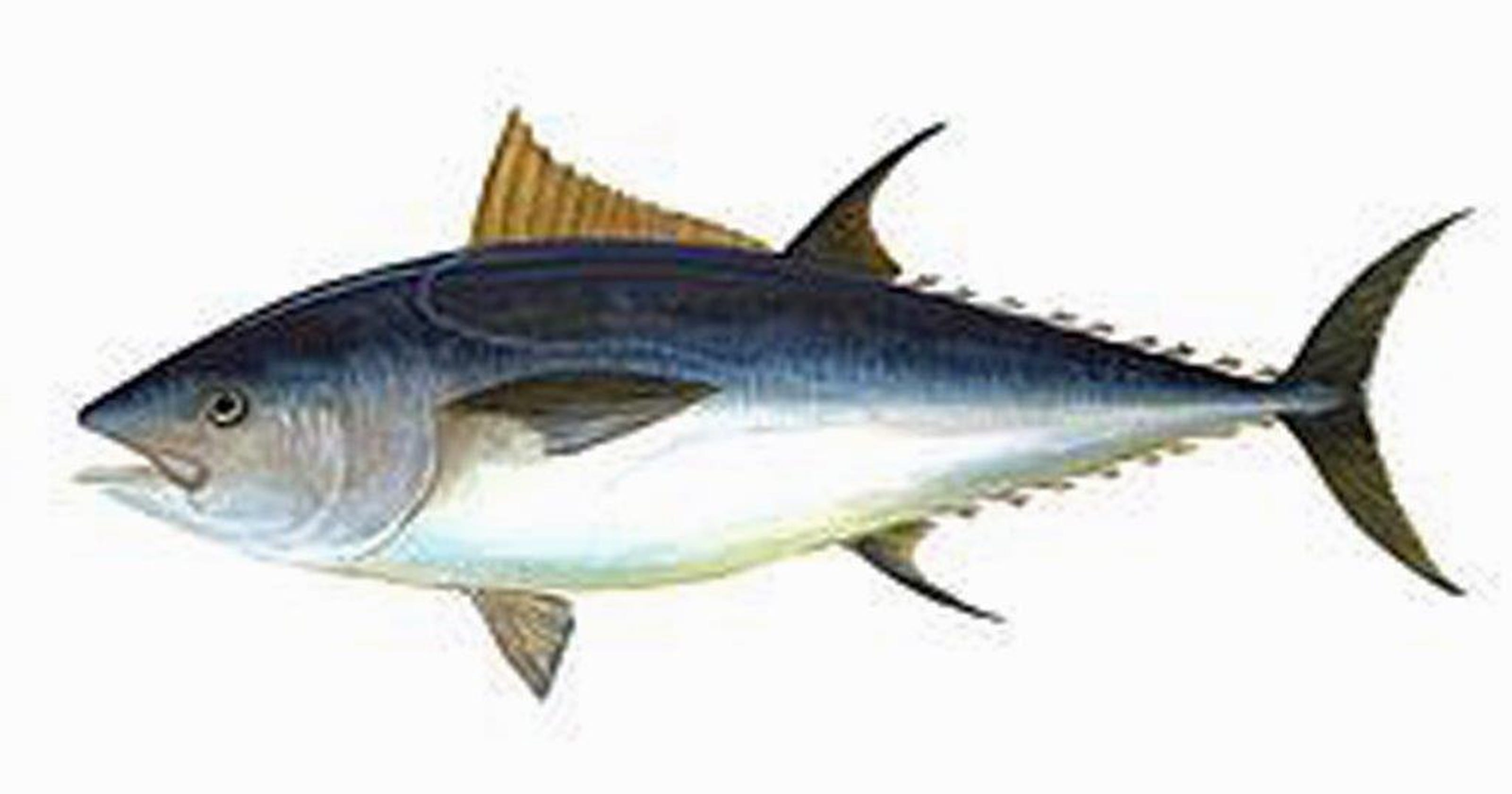 821fd52c1ceb Offshore Report  bluefin in Hudson Canyon