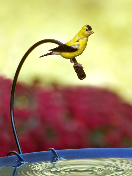 636098880712382600-Male-American-Goldfinch-on-Dripper.jpg