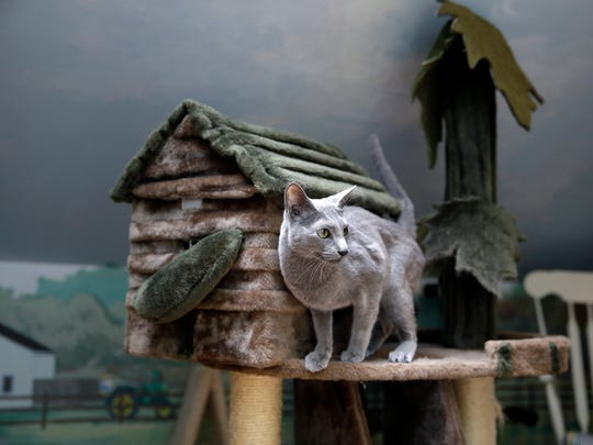 """FILE - In this Tuesday, Aug. 4, 2015, file photograph, Boris, a Russian blue cat, stands on a playhouse for cats at Morris Animal Inn in Morristown, N.J. New Jersey could become the first state to prohibit veterinarians from declawing cats. The bill's sponsor said declawing is """"a barbaric practice"""" that more often than not is done for convenience. The American Veterinary Medical Association opposes the law and said declawing is a last option if behavior modification fails."""