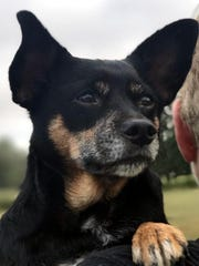 Layla is a 5-year-old, spayed female Chihuahua. She
